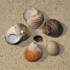Gewöhnliche Strandschnecke
