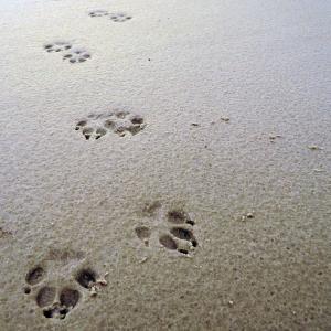 Fußspur Landsäuger