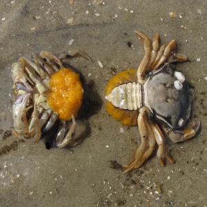Strandkrabbe æg